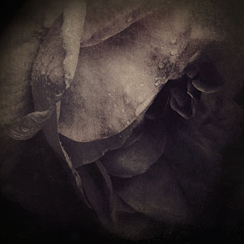 """""""She had already allowed her delectable lover to pluck that flower which, so different from the rose to which it is nevertheless sometimes compared, has not the same faculty of being reborn each spring."""" thumbnail"""
