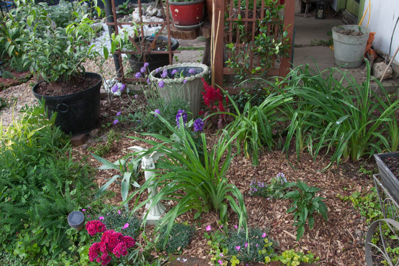 Cottage garden plants in May of 2016 at the beginning of the season. A cottage garden combines plants grown for beauty or scent along with herbs used for cooking or medicinal reasons.