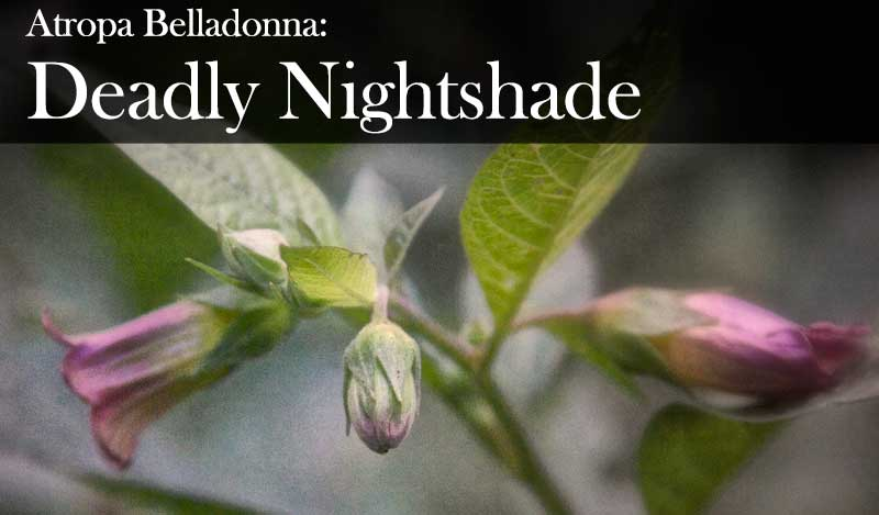 Atropa Belladonna: From Witch's flying potions, to the beauty of the women of Venice, to death from the sweet berries of deadly nightshade