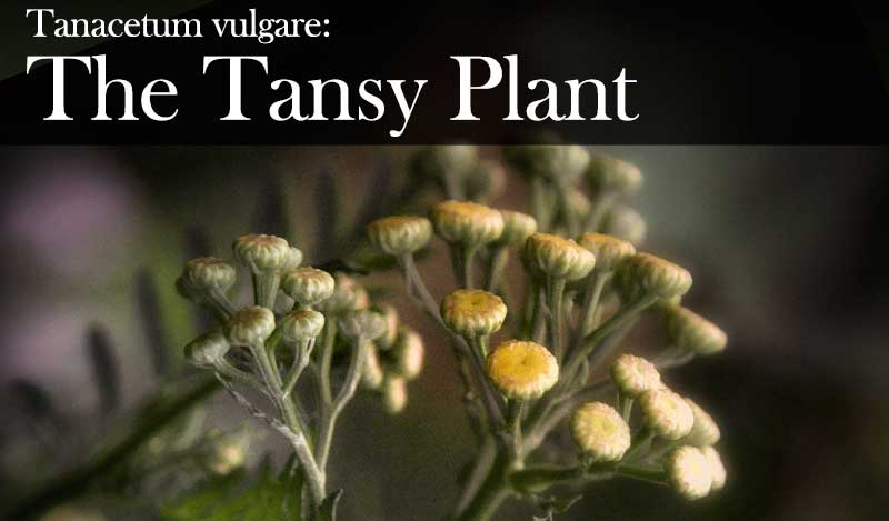 Tanacetum vulgare: Once a necessity for British gardens, Tansy has been used for abortions as well as immortality, and goes good with eggs