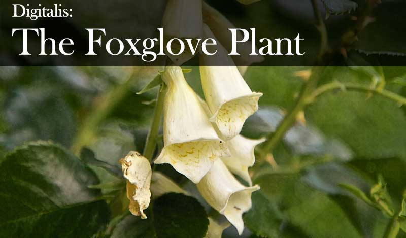 Foxglove digitalis: From witches' thimbles to witch's hats, a flower to lure fairies and whose magic in folklore brings both life and death