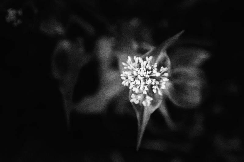 Valerian begins to bloom in the witch's garden.