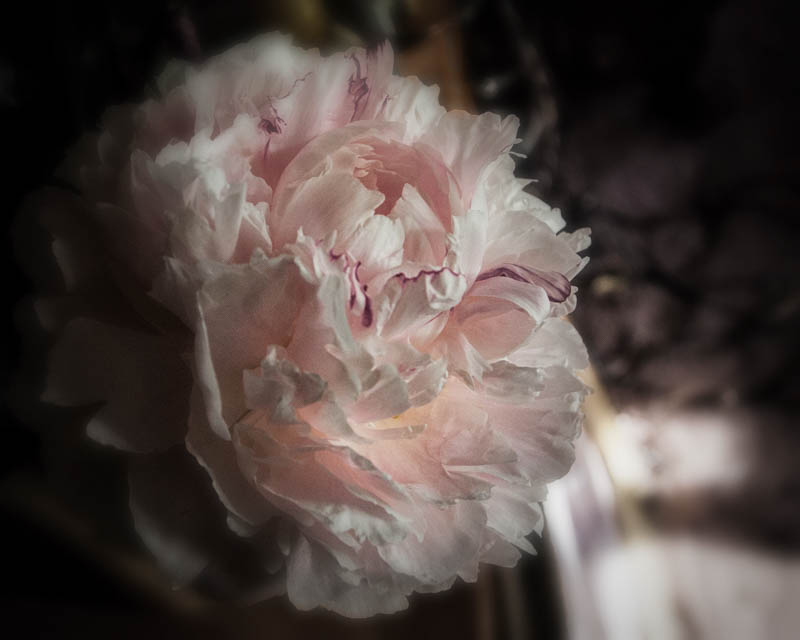 Peonies in bloom in the Witch's Garden, May 21, 2016