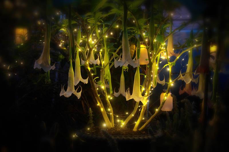 Brugmania blooms in the moon garden, June 20, 2017