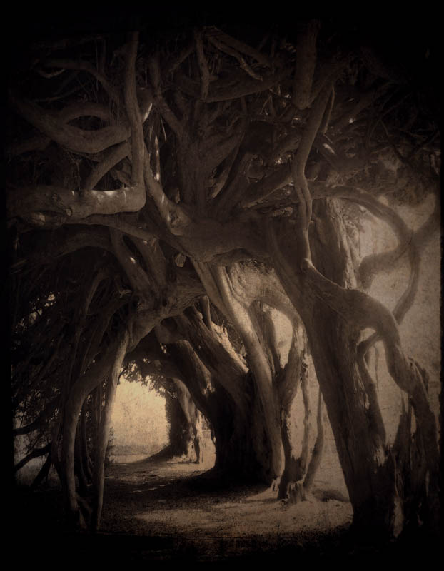 Ancient Yew Tree Tunnel, Aberglasney Mansion, Carmarthenshire, Wales. Cate Davies, artist