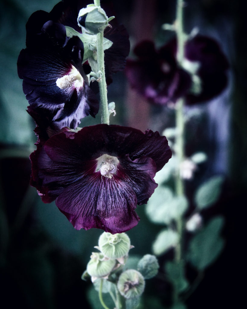 Hollyhock symbolism and meaning: A positive influence to the