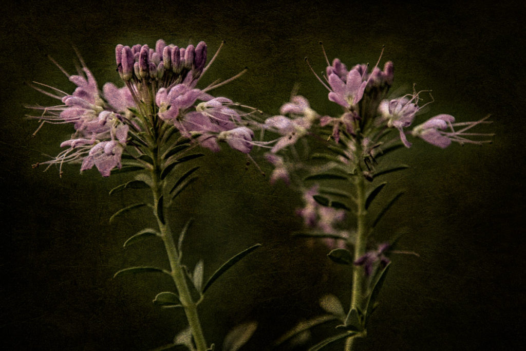 Cleome Serrulata: A Native American addition to the witch's garden and table, and a friend to bees and butterflies