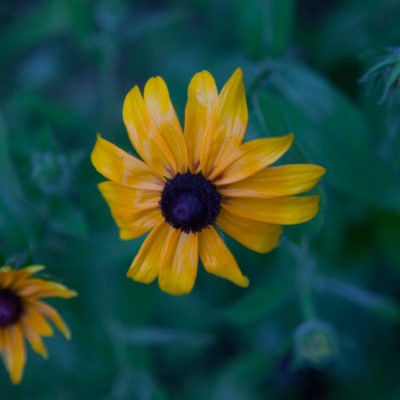 A Ballad: Sweet William's Farewell To Black-Eyed Susan
