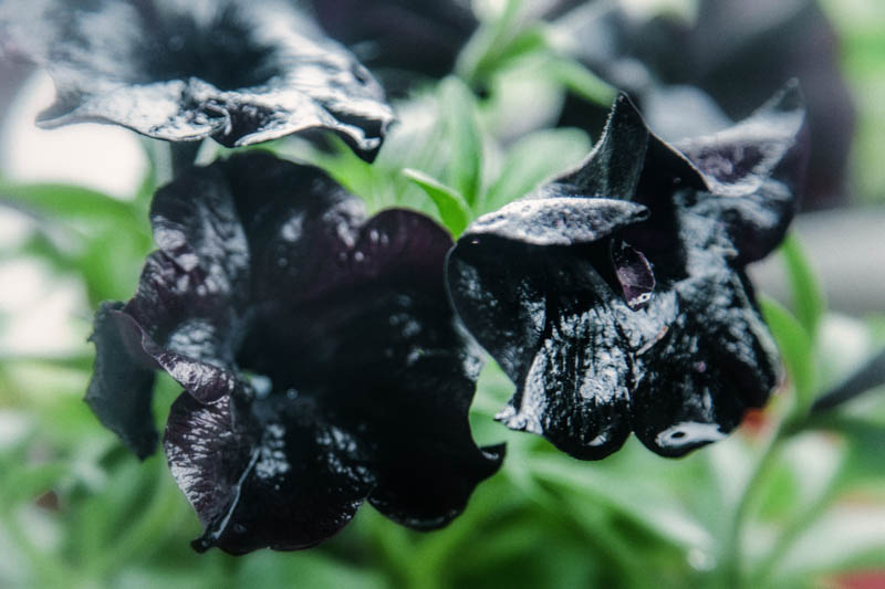 Pansies add another shade of black to the witch's garden