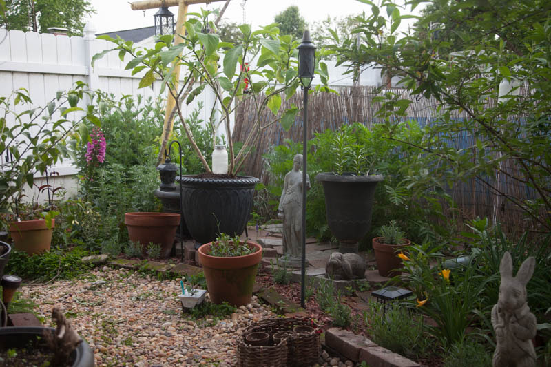 Poison garden plants and night scented plants in the Witch's Garden, early May. The large container holds a Brugmansia plant, white nearly a tree already, which in addition to being a night scented plant, is also quite poisonous. To the right of that are black lilies in a tall, vertical container.