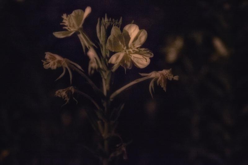 Evening Primrose Blooming In The Moon Garden
