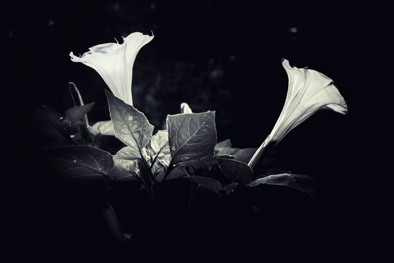 Datura unfolding in the witch's garden