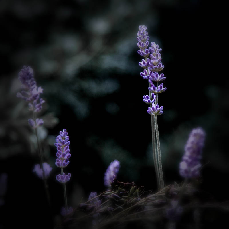Lavender in the witch's garden, July 1, 2016