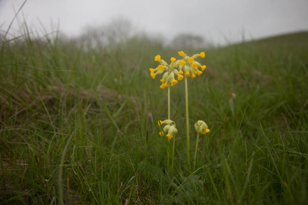 Celebrating the Cowslip on May Day morning in the witch's garden