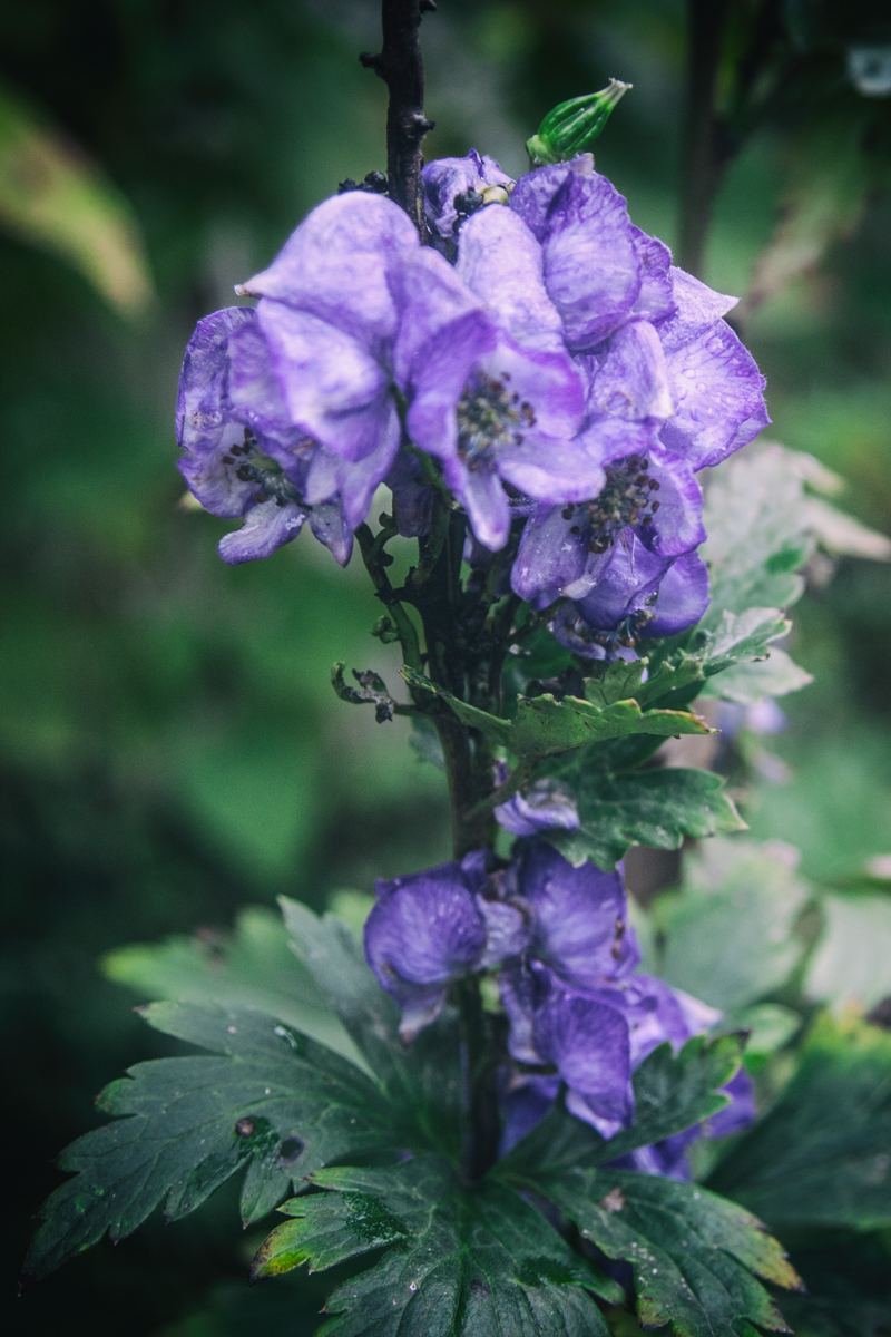 Monkshood in the witch's garden, Halloween 2019