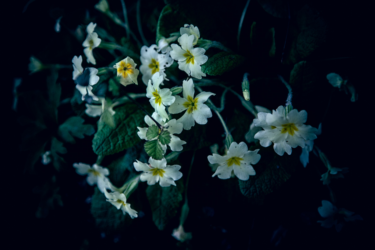 Primrose flowers growing wild, Wiltshire, UK