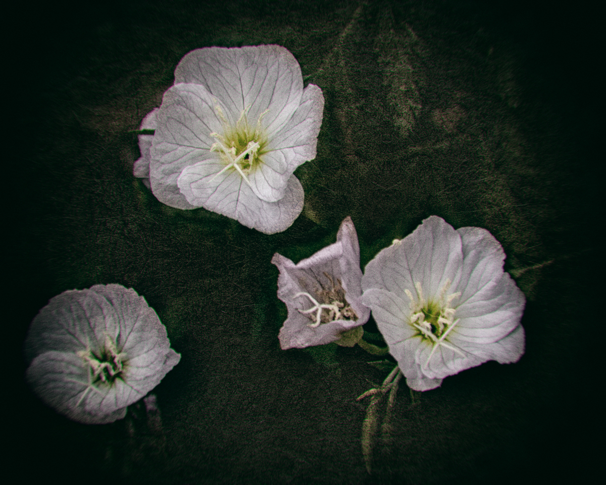 Evening Primrose Flowers blooming in the witch's garden